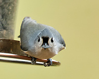 Tufted Titmouse (Baeolophus bicolor). Image taken with a Fuji X-H1 camera and 200 mm f/2 lens + 1.4x teleconverter.