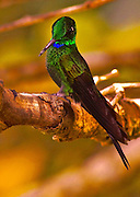 Green-crowned Brilliant Hummingbird, heliodoxa jacula, Costa Rica Cloud Forest