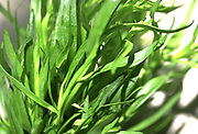 Close up selective focus photograph of Tarragon plant