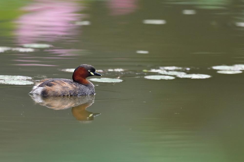Little Grebe or Dabchick, Tachybaptus ruficollis, swimming ina lake in East Lake Greenway park, Wuhan, Hubei, China
