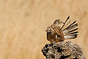 Common kestrel (Falco tinnunculus) female cleans its feathers. This bird of prey is a member of the falcon (Falconidae) family. It is widespread in Europe, Asia, and Africa, and is sometimes found on the east coast of North America. Photographed in