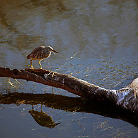 Asia, India, Ranthambore. Indian Pond Heron or Paddybird.