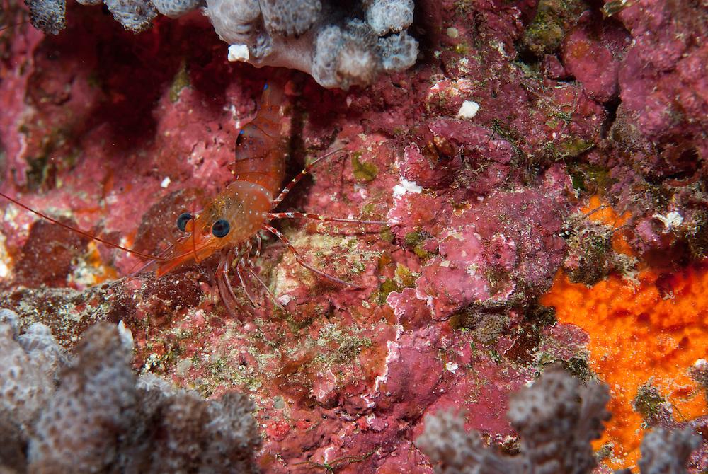 Kermadecs Marine Reserve, Hinge-back Shrimp, unknown