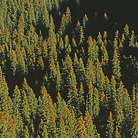 Douglas fir forest in Gallatin Range, Rocky Mountains, near Bozeman.