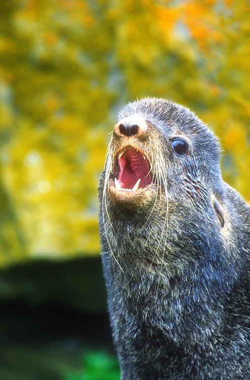North America; United States; Alaska; Bering Sea; Pribilof Islands; St. Paul Island; Wildlife; Marine Mammals; Northern Fur Seal: Callorhinus ursinus; Bull.