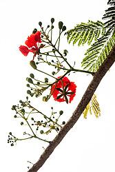 Royal Poinciana Tree Delonix Regia #35