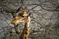 A Giraffe profile in the Serengeti National Park, Tanzania