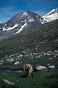 Alpine ibex (Capra ibex) Alpine scenery Gran Paradiso National Park,