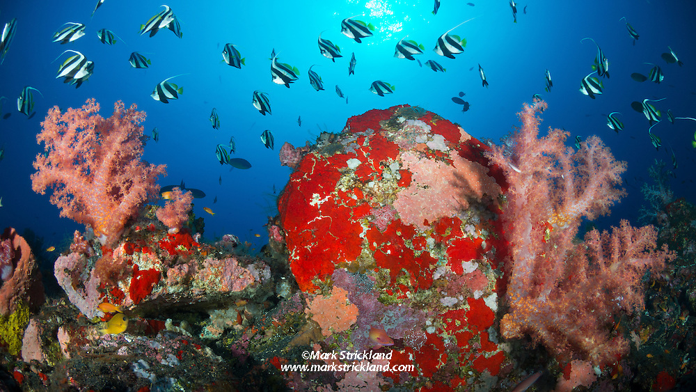 Longfin bannerfish, Heniochus acuminatus, hover above lush soft corals,  Dendonepthya sp., Andaman Islands, Andaman Sea, India