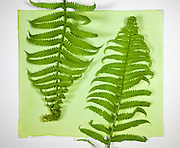 A sheet of unexposed paper treated with the cyanotype chemicals. The ferns are placed on the treated paper to block UV light.  Exposure to UV light will cause the chemicals to turn blue. In this process an object is placed on the ultraviolet sensitive chemically treated paper and exposed to a strong UV light source – in this case sunlight.  The object is then removed and the print washed in cool water to remove the unreacted chemicals. Cyanotype is a photographic printing process that produces a cyan-blue print. Engineers used the process well into the 20th century as a simple and low-cost process to produce copies of drawings, referred to as blueprints. The process uses two chemicals: ammonium iron(III) citrate and potassium ferricyanide.  The English scientist and astronomer Sir John Herschel discovered the procedure in 1842.