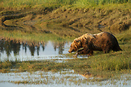 A coastal brown bear crossing a stream just after high tide.