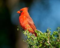 Northern Cardinal (Cardinalis cardinalis). Campos Viejos, Texas. Image taken with a Nikon D800 camera and 400 mm f/2.8 lens.