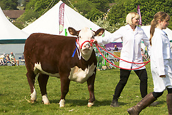 Cattle at Otley Show 2018