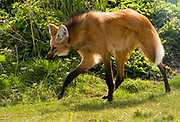 Profile image of a maned wolf (Chrysocyon brachyurus) walking on grass showing its characteristic long dark limbs. Hamerton Zoo Park Huntingdon