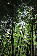 Bamboo forest in Nuuanu valley, Oahu, Hawaii