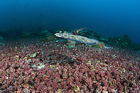 A Flowery Flounder cruises above the seafloor<br /> <br /> <br /> Shot at Cocos Island, Costa Rica
