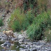 Red Fox, (Vulpus fulva) Adult near water. Kodiak Island, Alaska.