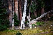 Mule deer, Uintas, Utah