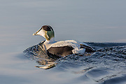 Common Eider swimming in the sea | Ærfugl svømmer i sjøen