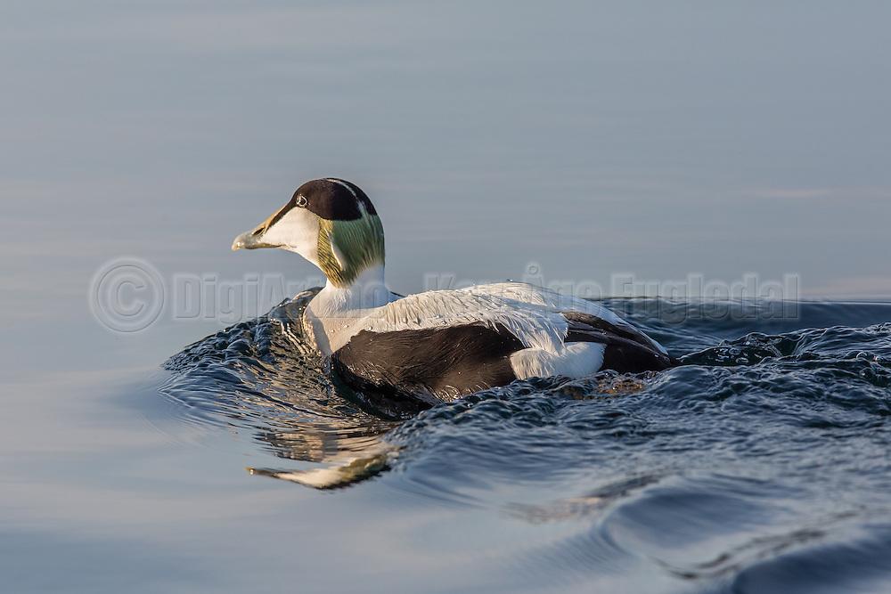 Common Eider swimming in the sea | Ærfugl svømmer i sjøen