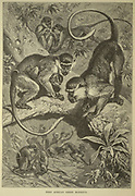 West African Green Monkeys in the wild From the book ' Royal Natural History ' Volume 1 Edited by  Richard Lydekker, Published in London by Frederick Warne & Co in 1893-1894