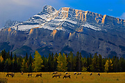 Elk in meadow on Minnewanka Road and Mt. Rundle in background<br />Banff National Park<br />Alberta<br />Canada