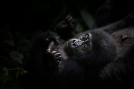Baby Gorilla contemplates this new world while cuddling adorably in the comfort and safety of Mother's embrace.