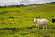 Cattle, Ranch, Hamakua Coast, Big Island of Hawaii