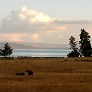 Grizzly bear, mother and cubs along the shoes of Lake Yellowstone, Yellowstone National Park, Wyoming