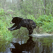 Black Bear, (Ursus americanus) Minnesota, jumping flooded bear trail from rain. Spring.