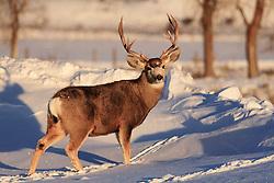 Mule Deer Buck, winter, Jackson Hole Wyoming