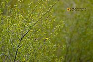 American goldflinch near Augusta, Montana, USA