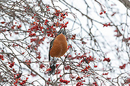 01382-05312 American Robin (Turdus migratorius) eating Hawthorn berry in winter Marion Co. IL