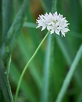 White Allium Flower. Image taken with a Leica SL2 camera and 90-280 mm lens.