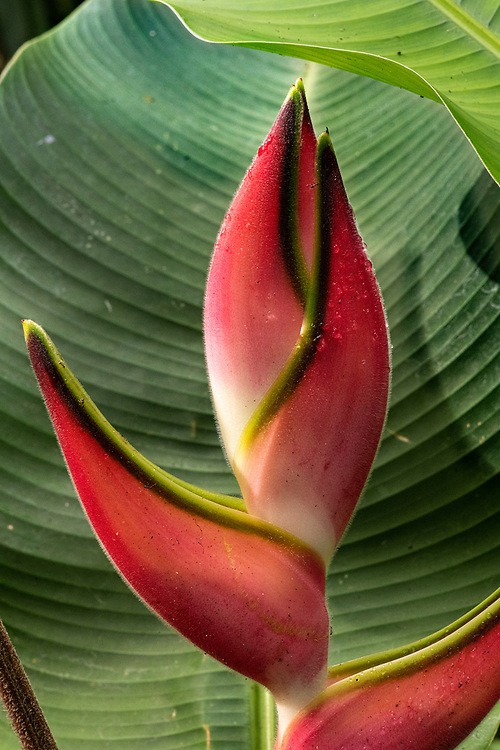 Heliconia Claw