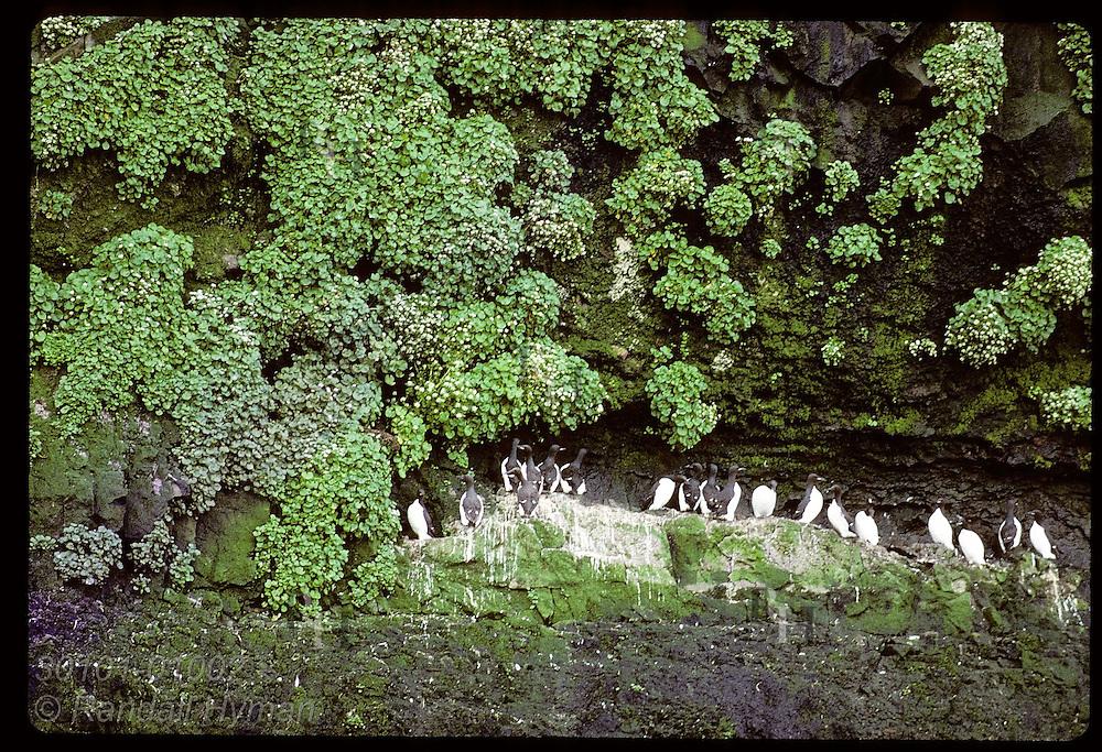 Murres line up on ledge of ocean cliff framed by green vegetation on Hornbjarg coast; West Fjords Iceland