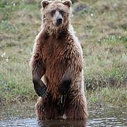 Grizzly bear (Ursus arctos) is also known as barren ground grizzly. Nunavut, Canada