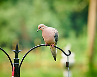 Mourning Dove. Image taken with a Nikon D850 camera and 200 mm f/2 VR lens