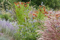 Miscanthus sinensis 'Ferner Osten' with Salvia uliginosa AGM and Helenium 'Dunkelpracht' seedling