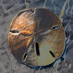 Sand dollars, as other echinoderms, have five symmetrical sections. It is believed that this is symbolic of the body of Christ on the crucifix. I have applied a special gilded coloration to this photo