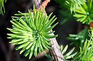 Fresh European Larch needles emerging in spring.