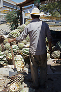 Man processing agave catcus with an axe. When the agave is harvested, it is cut into pineapples before being crushed for fermentation. Oaxaca in southern Mexico is known for being the main producer of Mescal, the drink of which Tequila is a type. The Mescal route around the area of Mitla has dozens of artisan distilleries which can be visited to take part in Mescal tasting sessions and to see how they cut the agave cactus and make the drink in the traditional way.