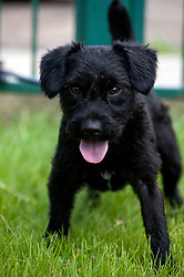 Rotherham Dog Rescue <br /> New addition Guinness the Terrier Cross Breed<br /> <br /> 121129<br /> <br /> 11 July 2012<br /> Image © Paul David Drabble