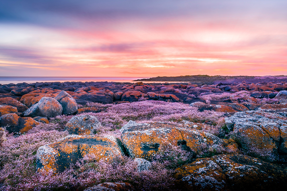 Sunset over orange, lichen-covered basalt rocks and pink flowers near the beach at Port Fairy, Victoria