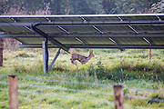 A roe deer walking through Chelworth solar array of the Wiltshire Wildlife Community Energy.