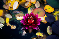 The last water lily of the season.