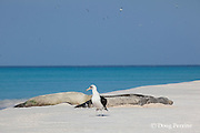 Laysan albatross, Phoebastria immutabilis, in front of sleeping, Hawaiian monk seals, Monachus schauinslandi, Critically Endangered endemic species, Sand Island, Midway, Atoll, Midway Atoll National Wildlife Refuge, Papahanaumokuakea Marine National Monument, Northwest Hawaiian Islands ( Central North Pacific Ocean )