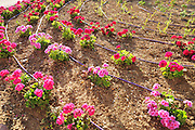 Israel, Drip irrigation in a park