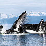 Humpback whales (Megaptera novaeangliae) engaged in bubble net feeding, snow-capped mountains in the background.