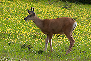 A young mule deer (Odocoileus hemionus) grows antlers in a field of Glacier Lilies, along the Garden Wall trail near Logan Pass, in Glacier National Park, Montana, USA.